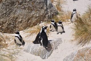 Cape Town's Famous African Penguin's