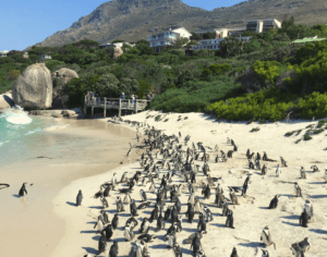 African penguins on Boulders Beach in Cape Town