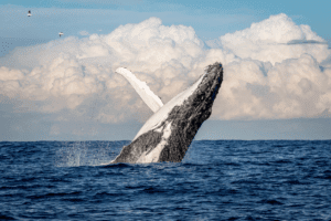 A whale breaching along the South African coast